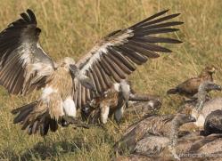 vulture-masai-mara-1713-copyright-photographers-on-safari-com