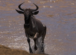 wildebeest-masai-mara-1627-copyright-photographers-on-safari-com