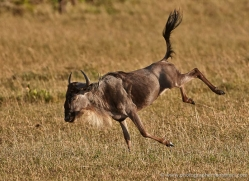 wildebeest-masai-mara-1628-copyright-photographers-on-safari-com