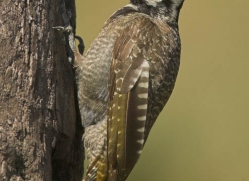 woodpecker-masai-mara-1667-copyright-photographers-on-safari-com