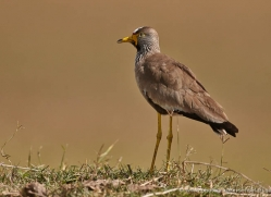 yellow-wattled-plover-masai-mara-1706-copyright-photographers-on-safari-com