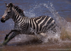 zebra-masai-mara-1629-copyright-photographers-on-safari-com