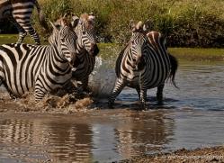 zebra-masai-mara-1631-copyright-photographers-on-safari-com