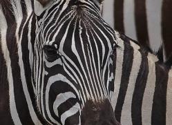 zebra-masai-mara-1632-copyright-photographers-on-safari-com