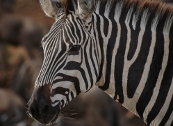 zebra-masai-mara-1633-copyright-photographers-on-safari-com