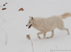 arctic-wolf-3793-montana-copyright-photographers-on-safari-com