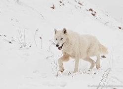 arctic-wolf-3796-montana-copyright-photographers-on-safari-com