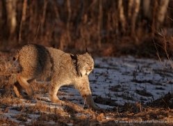 bobcat-3798-montana-copyright-photographers-on-safari-com