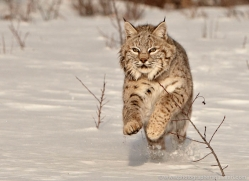 bobcat-3799-montana-copyright-photographers-on-safari-com