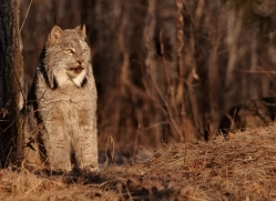 bobcat-3800-montana-copyright-photographers-on-safari-com