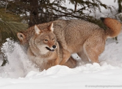 coyote-3810-montana-copyright-photographers-on-safari-com