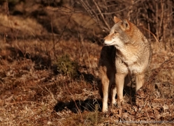 coyote-3812-montana-copyright-photographers-on-safari-com