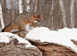 fox-3851-montana-copyright-photographers-on-safari-com