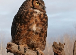 great-horned-owl-american-eagle-owl3860-montana-copyright-photographers-on-safari-com