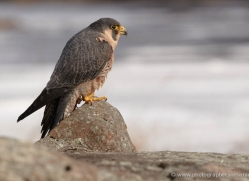 peregrine-falcon-3855-montana-copyright-photographers-on-safari-com