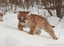 puma-cub-mountain-lion-cub-3721-montana-copyright-photographers-on-safari-com