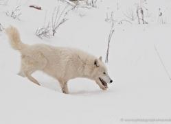 arctic-wolf-3795-montana-copyright-photographers-on-safari-com
