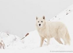 arctic-wolf-3797-montana-copyright-photographers-on-safari-com