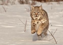bobcat-3799-montana-copyright-photographers-on-safari-com