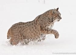 bobcat-3801-montana-copyright-photographers-on-safari-com