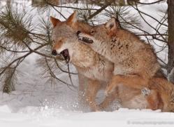 coyote-3809-montana-copyright-photographers-on-safari-com