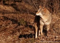 coyote-3812-montana-copyright-photographers-on-safari-com
