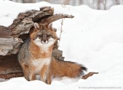 fox-3850-montana-copyright-photographers-on-safari-com