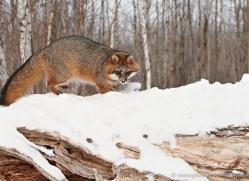 fox-3852-montana-copyright-photographers-on-safari-com