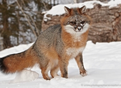 fox-3853-montana-copyright-photographers-on-safari-com