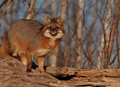 fox-3854-montana-copyright-photographers-on-safari-com