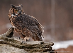 great-horned-owl-american-eagle-owl3857-montana-copyright-photographers-on-safari-com