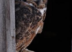 great-horned-owl-american-eagle-owl3859-montana-copyright-photographers-on-safari-com