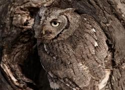 owl-3856-montana-copyright-photographers-on-safari-com