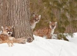 puma-cub-mountain-lion-cub-3723-montana-copyright-photographers-on-safari-com