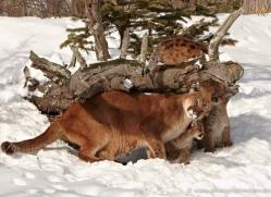 puma-cub-mountain-lion-cub-3725-montana-copyright-photographers-on-safari-com