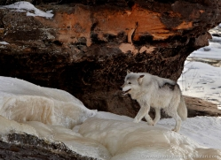wolf3792-montana-copyright-photographers-on-safari-com