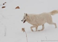 arctic-wolf-3793-montana-copyright-photographers-on-safari-com