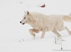 arctic-wolf-3794-montana-copyright-photographers-on-safari-com