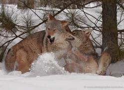 coyote-3808-montana-copyright-photographers-on-safari-com
