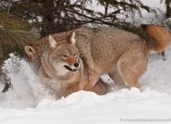 coyote-3810-montana-copyright-photographers-on-safari-com