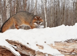 fox-3852-montana-copyright-photographers-on-safari-com