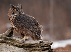 great-horned-owl-american-eagle-owl3857-montana-copyright-photographers-on-safari-com