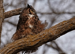 great-horned-owl-american-eagle-owl3858-montana-copyright-photographers-on-safari-com