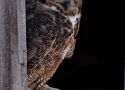 great-horned-owl-american-eagle-owl3859-montana-copyright-photographers-on-safari-com