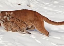 puma-cub-mountain-lion-cub-3722-montana-copyright-photographers-on-safari-com
