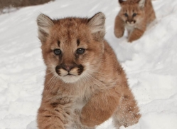 puma-cub-mountain-lion-cub-3726-montana-copyright-photographers-on-safari-com