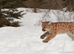 puma-cub-mountain-lion-cub-3727-montana-copyright-photographers-on-safari-com