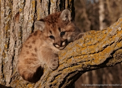 puma-cub-mountain-lion-cub-3729-montana-copyright-photographers-on-safari-com