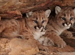 puma-cub-mountain-lion-cub-3730-montana-copyright-photographers-on-safari-com