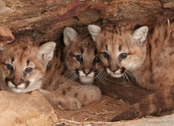 puma-cub-mountain-lion-cub-3731-montana-copyright-photographers-on-safari-com
